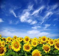 - Ay Çiçekleri Kanvas Tablo