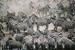 - Zebra Sürüsü Kanvas Tablo